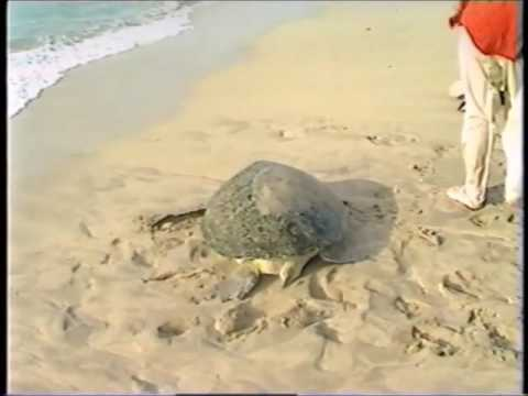 Marine Turtle - Biometrics and Satellite Tracking - 1997, Ras Al Khaima, UAE