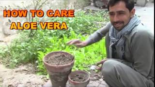 Aloe Vera :  Best Tips for Growing & Care