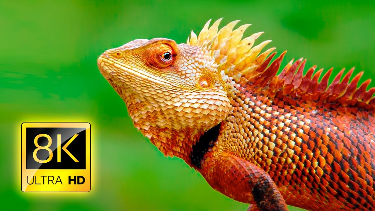 The Most Amazing Reptiles in 8K ULTRA HD / 8K TV