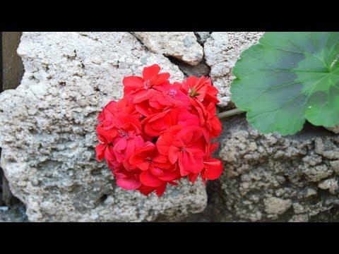 Пеларгонии.  Чем удобрить пеларгонии для пышного цветения?!