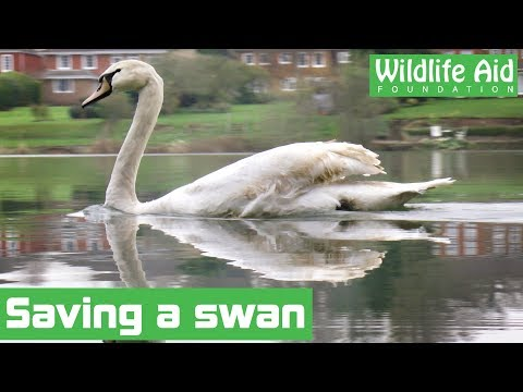 Lost swan given a helping hand
