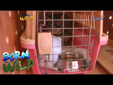 Born to Be Wild: Releasing a Palawan leopard cat back into the wild