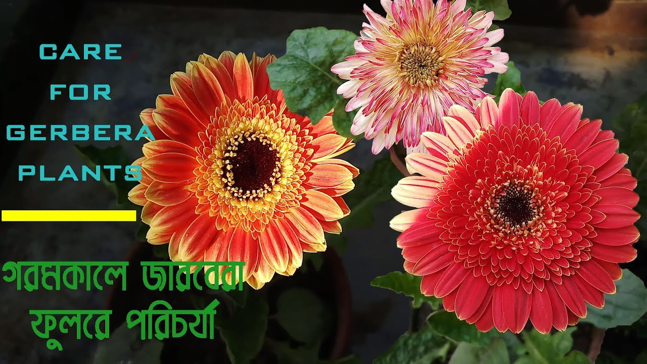 Gerbera Flower Bengali Meaning How To Care Gerbera Plant 😮| Care For Gerbera Plants In