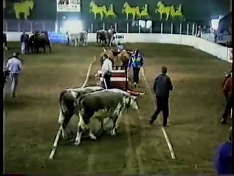 Windsor Exhibition Ox Pull 1995 - medium class
