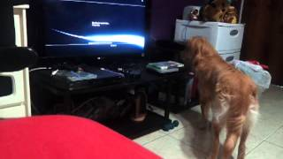 Amy June Is Confused By Ps3 Live Wallpaper.. Where Did That Car Go?! - Golden Retriever