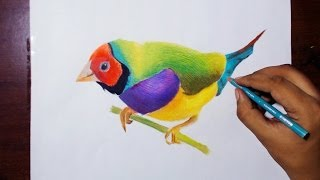 Drawing A Gouldian Finch - prismacolor pencils