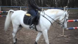 Тренировка по конкуру на арабском жеребце Прапоре (ШВЕ Династия)