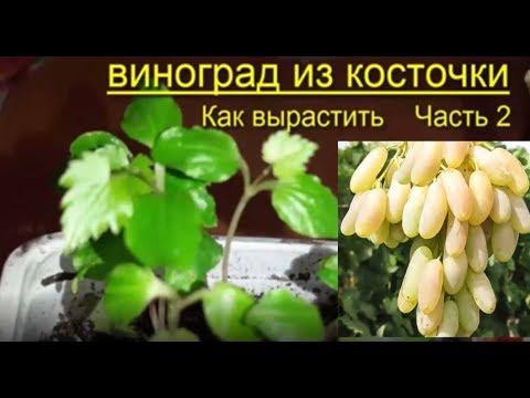 Виноград Выращивание  из семян Советы Рекомендации Grapes Grow Themselves From The Seed Advice