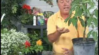 Gardening Plant Care : Avocado Tree Care