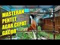 Masteran Burung Pentet Full Isian Agar Cepat Gacor  Mp3 - Mp4 Download
