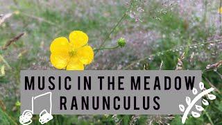 Ranunculus - James Oswald