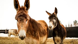 Mammoth Donkeys