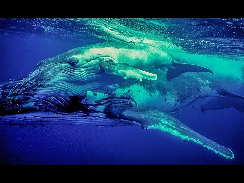 Humpback Whales- Vava'u, Tonga - BigAnimals Global Expeditions