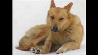 Красноярск. Бездомные собаки терроризируют