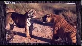Животные мира Тигры Один на один Агрессия Бой равных Хищники Южная Африка Битва за территорию