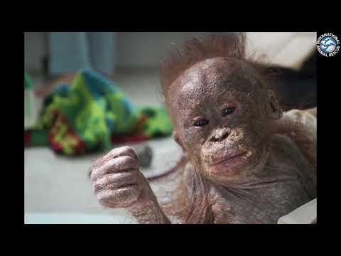 Adopt An Orphaned Orangutan Today
