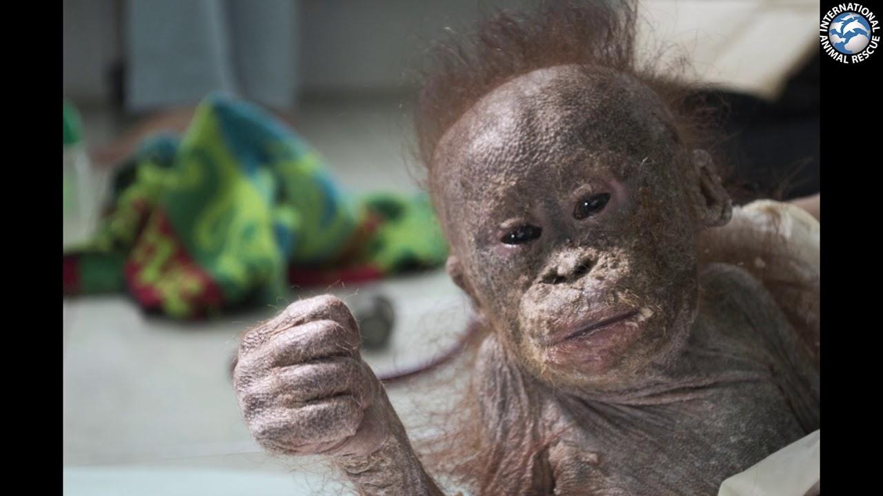 Adopt An Orphaned Orangutan Today Youtube