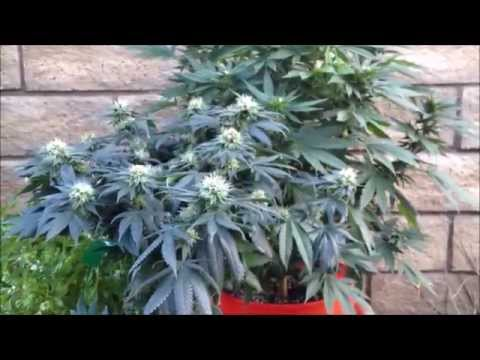 OUTDOOR POT PLANT GOES INSIDE... INDOOR WEED PLANT GOES OUT. ANONYMOUS GROWER