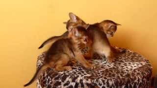 Абиссинские котята (DoZoo.ru)