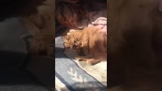 Бешиная кошка пушинка