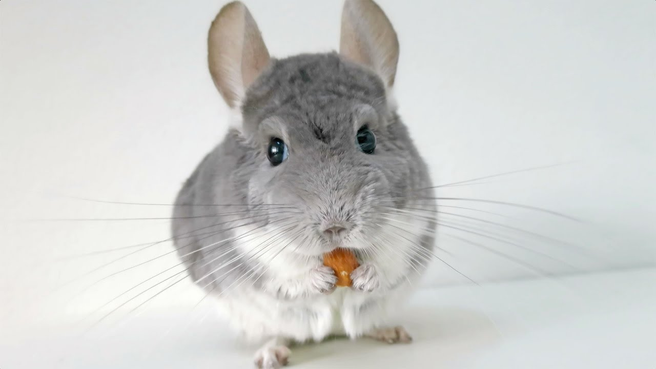 chinchilla loves his nut youtube