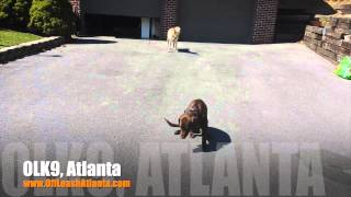 Doing Commands Under Distraction! | Labrador Retriever Pup | Atlanta Dog Trainer