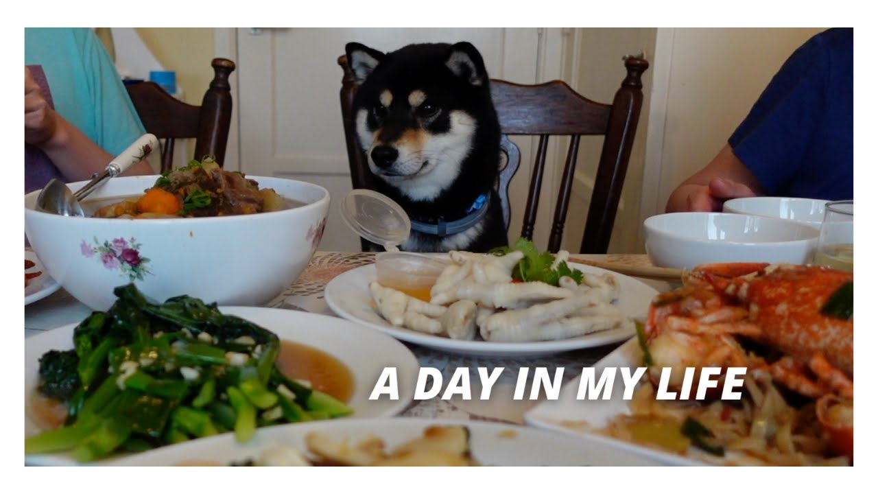 Download A day in the life of Shiba Ollie #1