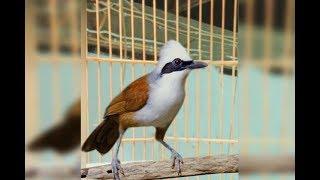 Burung Poksay Jambul Gacor Suara Kasar Mantap Buat Masteran