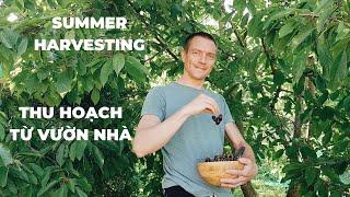 Summer Harvesting P.1   Thu hoạch rau, củ mùa hè P.1  Cuộc sống Phần Lan