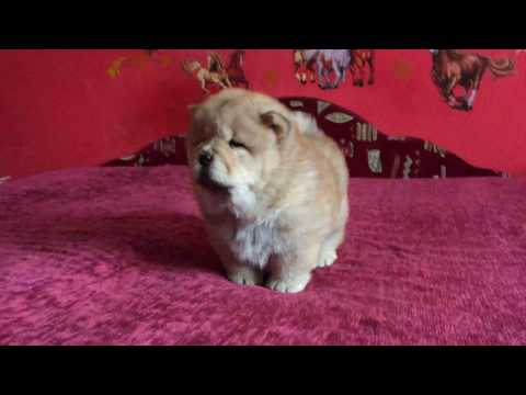 Golden Girl - Chow Chow Puppy for sale