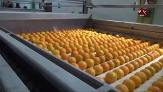 مأرب .. تنتج 130 طن من البرتقال | تقرير ذياب الشاطر