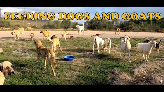 Feeding Stray Dogs and Goats