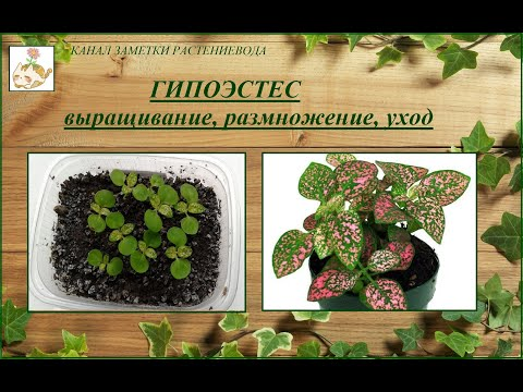 Гипоэстес (гипестес) выращивание из семян, уход, размножение