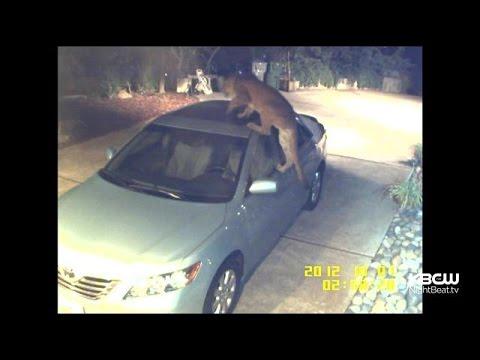 Caught On Camera: Mountain Lion Chills On San Jose Man's Car