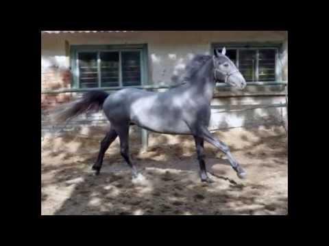 Лошади породы орловский рысак.