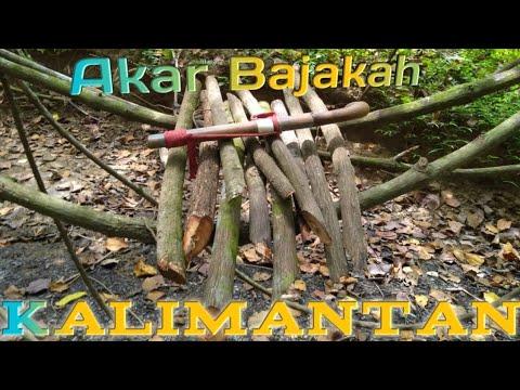 Akar Bajakah di Hutan Kalimantan | Tidak sengaja menemukannya
