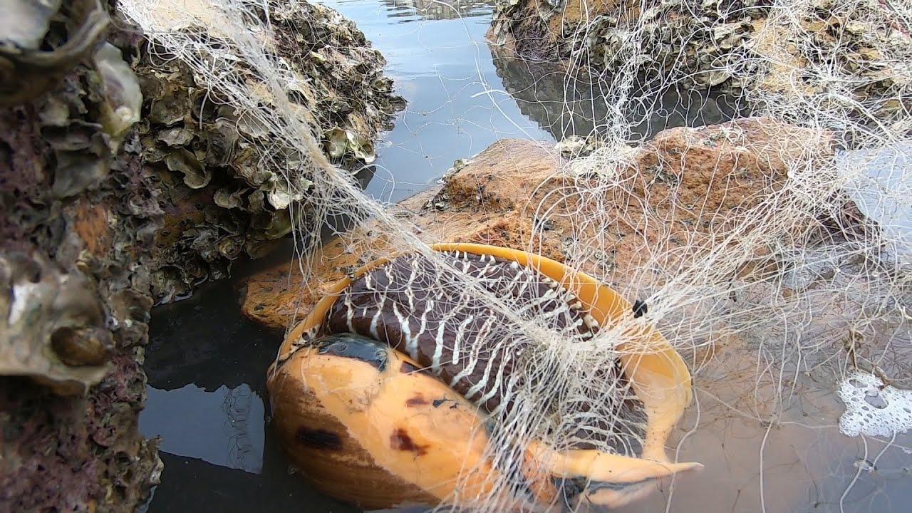 小妹抓到几十年的大螺王,个头大的像只乌龟,捡回去能炒一大盆