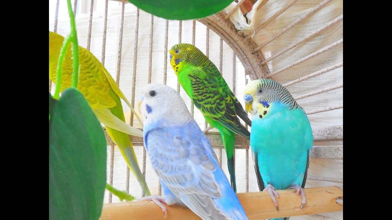 Hello! Bird song lovers! Happy to bring you this unique pet budgies  chirping 10 Hr + footages