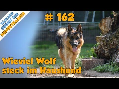 TGH 162 : Wieviel Wolf Steckt Noch Im Hund - Hundeschule Stadtfelle