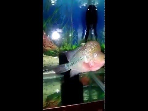 Cara Melihat Ciri Ciri Ikan Louhan Ciri Ikan Louhan Sakit