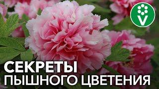 Сделайте так ПЕРЕД ЦВЕТЕНИЕМ ПИОНОВ для невероятно крупных цветов!
