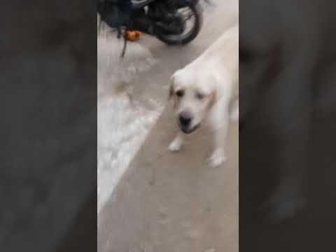 Labrador stella