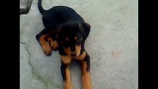 Black Lab Rottweiler Puppy Mix Doing Some Commands
