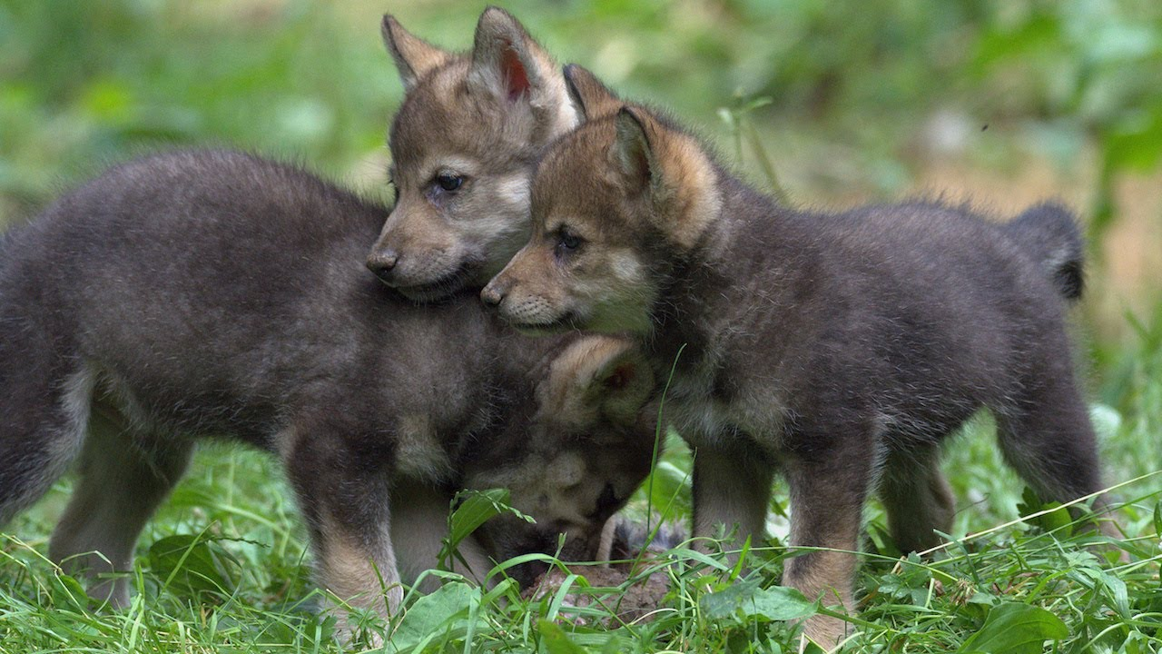 Wildlife Park Celebrates First Wolf Cubs Birth In 47 Years: ZooBorns