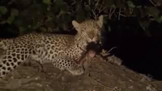 Un leopardo mata a un mono y cuando va a devorarlo     descubre al bebé de su víctima