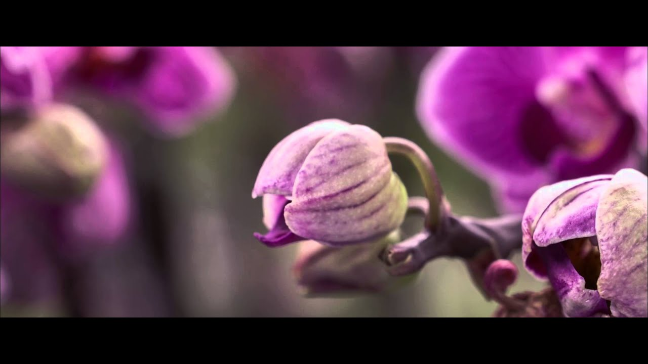 Lexus Orchid
