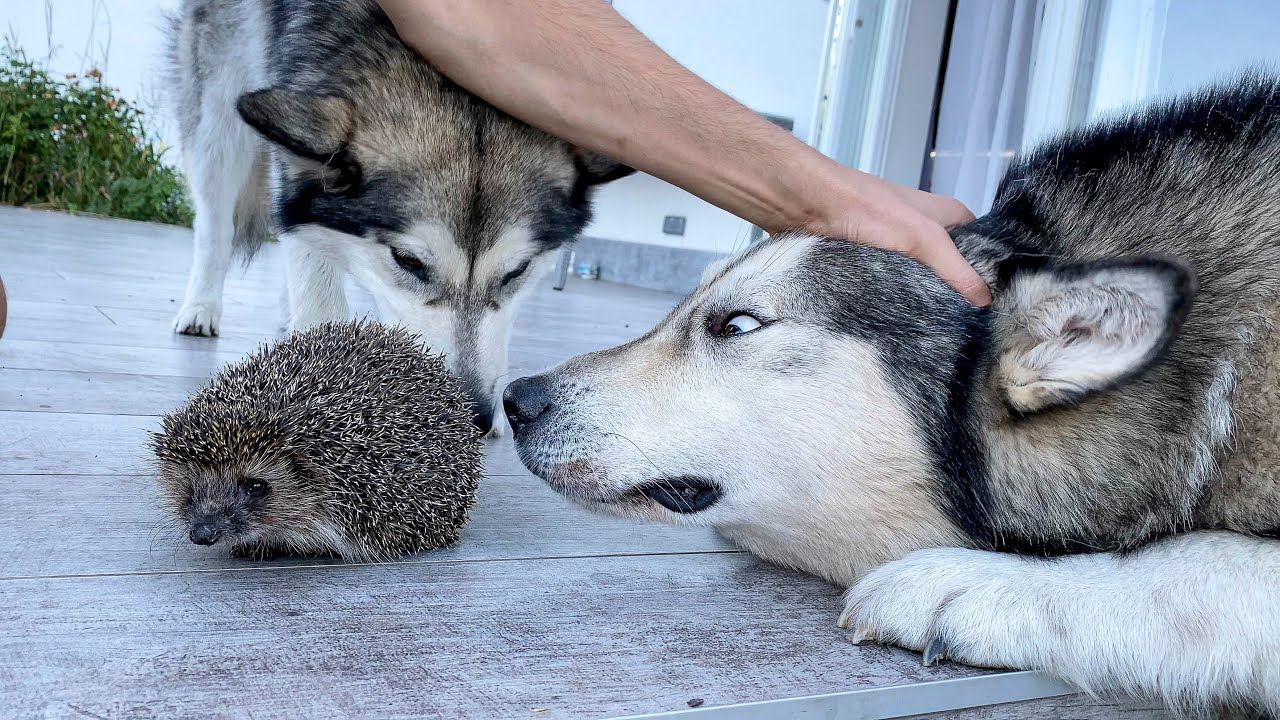 Собаки Поймали Ёжика!