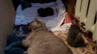 Британские плюшевые котята д.р. 20.12.2009