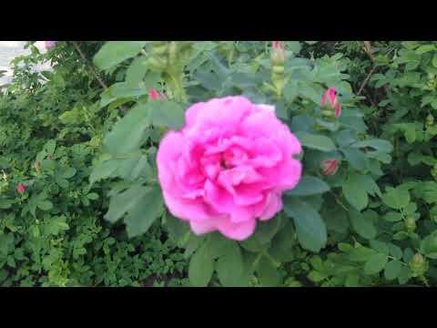 Морщинистая роза - ругоза Васагаминг (Wasagaming).