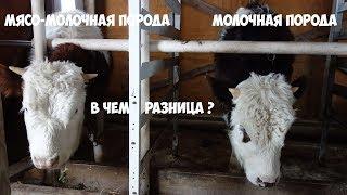 Сравнение  бычков симментальской и молочной породы